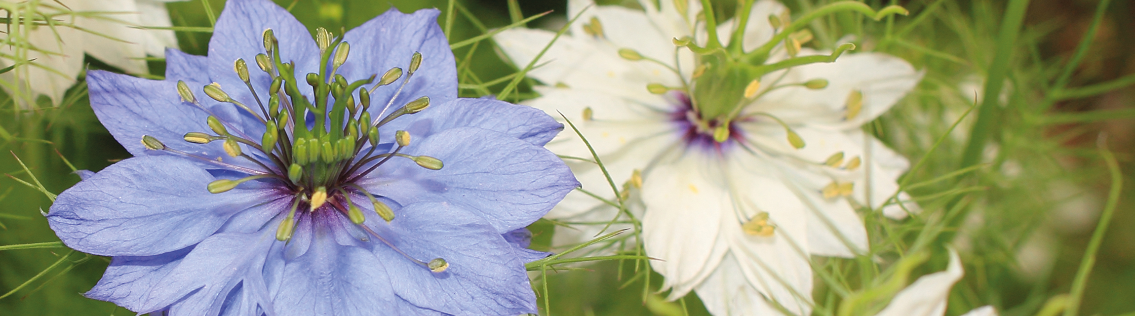 Essenz 2019: Nigella sativa